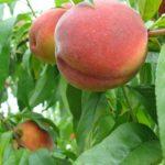 AppleLand-Ernies-peaches.jpg